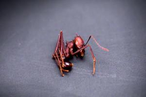 Бразильский муравей, тот самый